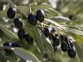 Débat sur la célébration de la journée mondiale de l'olivier