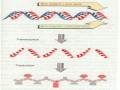Cours N°13: Génétique moléculaire-La transcription: Synthèse d'ARN à partir de matrices d'ADN- Part1